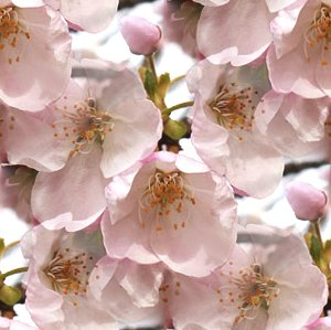 Click to get the codes for this image. Cherry Blossoms Seamless Photo, Flowers, Pink Background Wallpaper Image or texture free for any profile, webpage, phone, or desktop