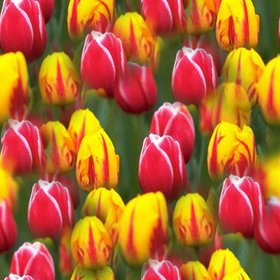 Click to get the codes for this image. Seamless Tulips, Flowers Background Wallpaper Image or texture free for any profile, webpage, phone, or desktop